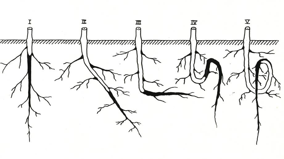 Типы деформации корней (по